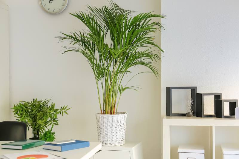 Areca Palms placed next to a desk, minimalist decor