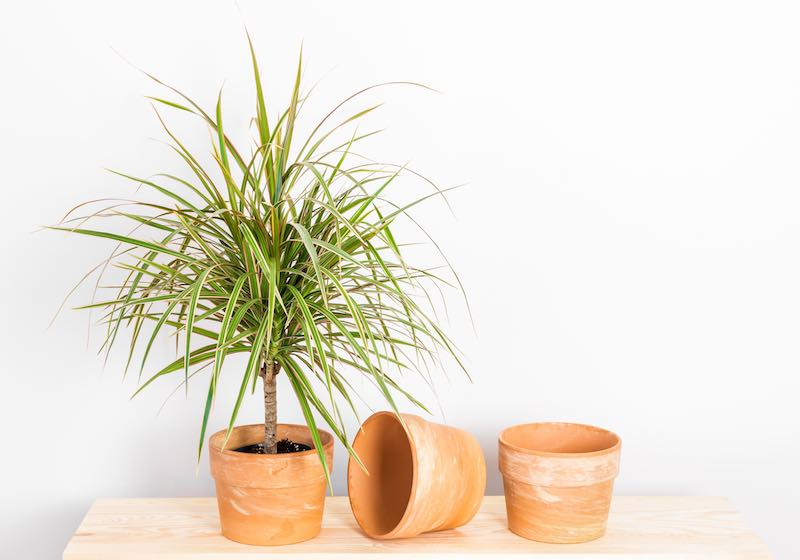Dracaena plant in front of a white wallpaper