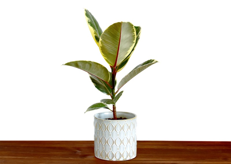 Rubber plant with a white blank wallpaper