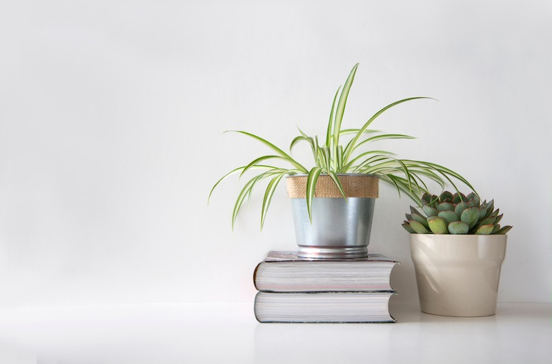 Spider plant on a stack of books