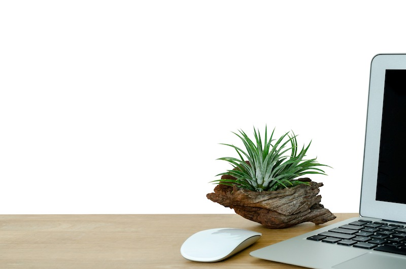 Tillandsia next to MacBook